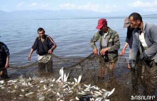 Севанский сиг, спасший армянский народ от голода в «темные годы», вновь оказался на грани исчезновения