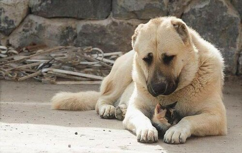 Армянский Гампр — лев среди собак